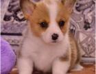 上海出售纯种柯基犬 包犬?#26009;?#23567; 签售后健康协议