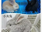 自家养兔子荷兰猪仓鼠小鸡刺猬松鼠已打疫苗