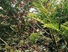 急售2万棵红豆杉树苗