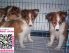 唐山松狮图片价格 松狮幼犬宠物狗养殖基地 松狮领养赠送