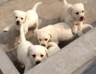 狗场直销一纯种拉布拉多犬一本周一送用品一签协议保障