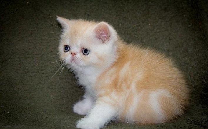 青岛哪里卖健康的加菲猫 加菲猫价格是多少 青岛加菲猫多少钱