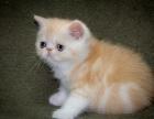 超级可爱的布偶猫咪,驱虫疫苗齐,健康纯种