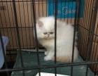 家养纯白加菲猫出售