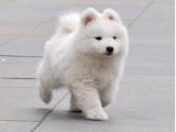 上海本地 出售薩摩耶犬,簽合同包健康純種,本地可送貨上門