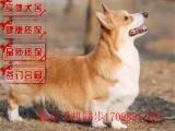 哪里有出售纯种柯基犬 两色三色柯基幼犬多少钱一只