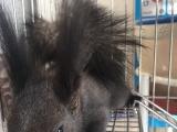 出售魔王松鼠一只,健康活泼。