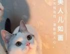 CFA双血统美国短毛猫银虎斑起司猫接预定