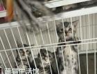 山西太原萌猫生活馆--美短虎斑出窝找新家宠物