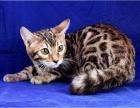 自己家繁殖豹猫三窝 可以包窝 可以零卖 具体详谈