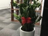 佛山本地办公室内绿植物租摆盆栽租赁犸蚁园艺