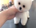重慶出售純種博美犬幼犬茶杯犬袖珍犬活體俊介犬幼