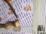 出售可爱的魔王金花松鼠 大降价