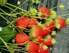 草莓风情采摘园欢迎您