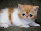 重庆哪里卖健康的加菲猫 加菲猫价格是多少 重庆加菲猫多少钱