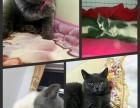 各种宠物猫,种公借配