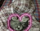 英短 自家养猫咪 5只奶毛 猫爸猫妈在家 欢迎订购