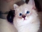 【三顾猫屋】蓝山猫海豹山猫双色布偶猫找富养