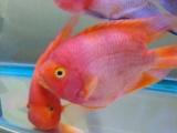 18厘米鹦鹉鱼便宜出售
