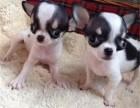 出售纯种吉娃娃幼犬,血统纯正,保健康,养殖场繁殖