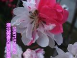 观赏桃花树苗3公分红叶碧桃品种