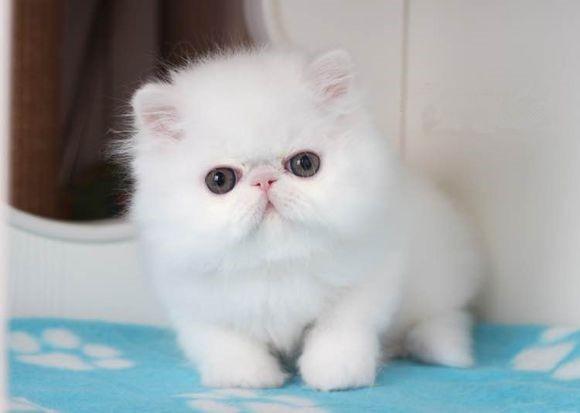 苏州哪里有波斯猫卖 纯种 无病无廯 协议质保