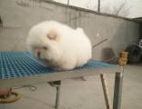 大连哪里有卖松狮犬 纯种松狮犬多少钱 赛级面包嘴松狮犬幼犬
