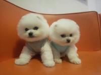广州博美犬多少钱一条 俊介犬怎么卖 广州博美俊介幼犬出售