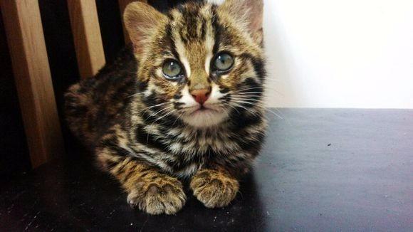 珠海哪里有孟加拉豹猫卖 野性外表温柔家猫性格 时尚 漂亮