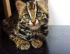 济南哪里有孟加拉豹猫卖 野性外表温柔家猫性格 时尚 漂亮