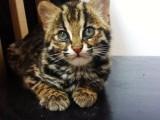 苏州里有波斯猫卖 纯种 无病无廯 协议质保