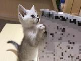 短毛猫0-4000元