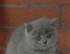 出售蓝猫幼猫宠物猫活体英短家养包子脸/英国短毛幼猫