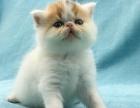 低价出售加菲猫一窝,高品质英短蓝白 重点色可上门