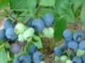 有机蓝莓采摘