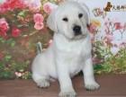 重庆解放碑附近的拉布拉多犬出售