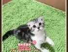 非常可爱的虎斑折耳猫小帅哥--《思晴名猫坊》