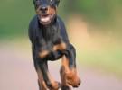 纯种杜宾犬养殖 包健康 可上门看狗 可签协议