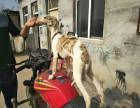出售成年格力犬 惠比特 灵缇犬及幼犬