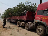 粗度9厘米矮化樱桃苗(怎样提高移栽成活率)矮化樱桃苗供应商