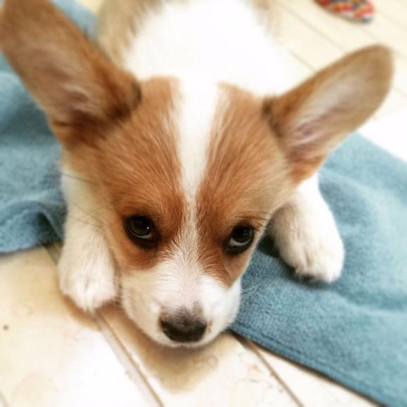 出售纯种威尔士柯基幼犬 赛级黄白双色宠物狗活体