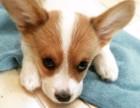 三亚纯种柯基价格 三亚哪里能买到纯种柯基犬