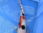 汕头看鱼纯种进口锦鲤大小公分均有售按图选鱼