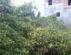 盆架子 树11年。便宜出售