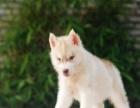 珠海买宠物狗狗要去哪里买,哪里有出售宠物狗,哈士奇多少钱一只