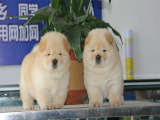 胖乎乎的松狮钱一只 浙江里有卖松狮的