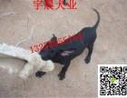 2-4个月的黑狼犬幼犬好训练吗纯种黑狼犬价格图片