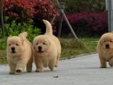 广东中山一般金毛幼犬多少钱一只