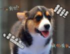 家养纯种柯基犬便宜出售了 喜欢的可以加我详聊