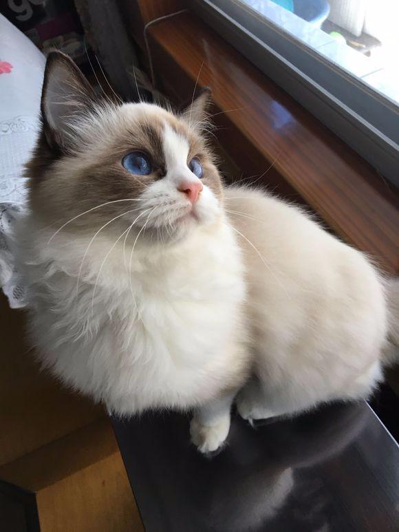 北京哪里有布偶猫卖 海豹双色 重点手套均有CFA认可多只可挑